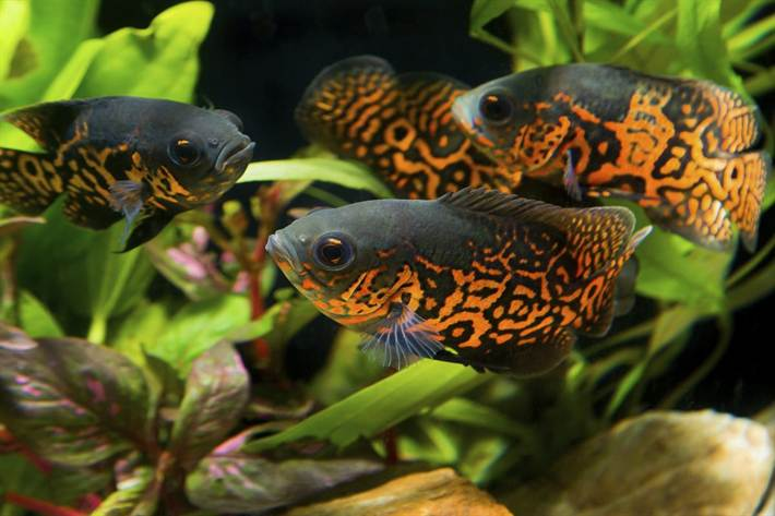1200-466169354-group-of-oscar-fishes
