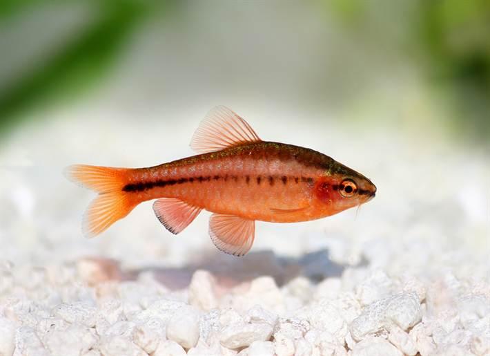 cherry barb , Puntius titteya freshwater aquarium fish Barbus titteya