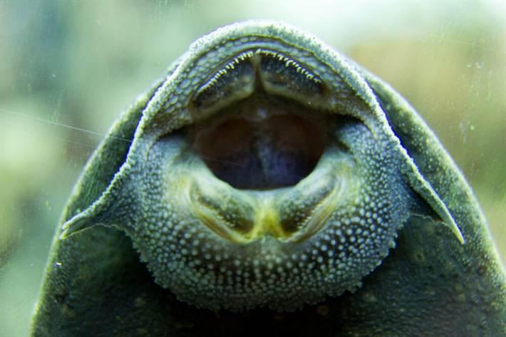 Присоска позволяет анциструсу удерживать вес собственного тела даже вне водной среды