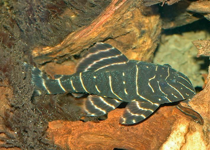 Панак — редкий гость наших аквариумов