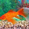 Золотая рыбка Источник: http://kwitri.ru/wp-admin/post.php?post=6200&action=edit