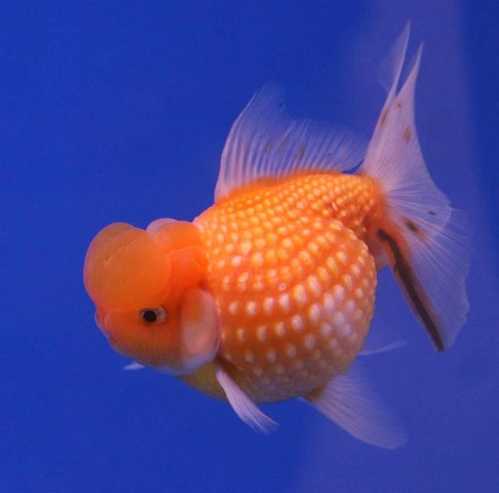 Существует большое разнообразие золотых рыбок