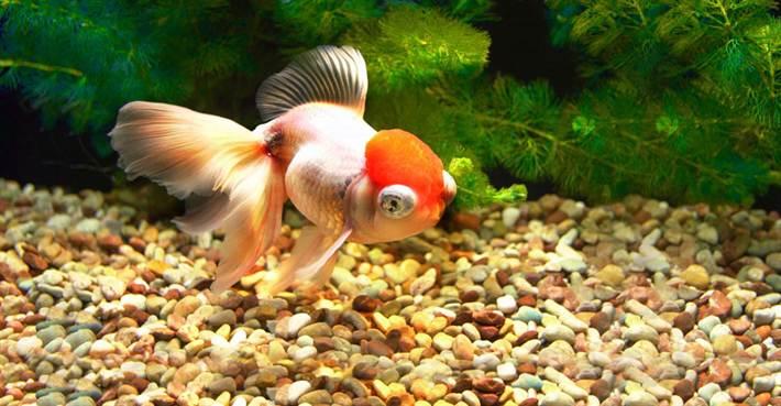 Чем причудливее наросты на голове – тем ценнее рыбка