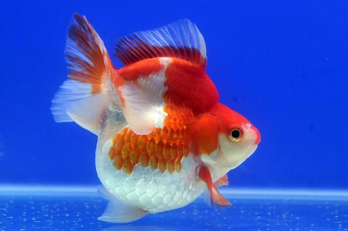 В идеале золотых рыбок нужно держать в видовом аквариуме