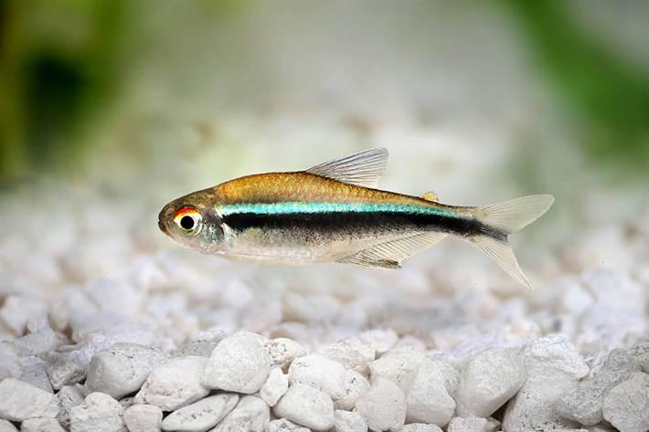 В аквариумах можно встретить несколько видов неонов