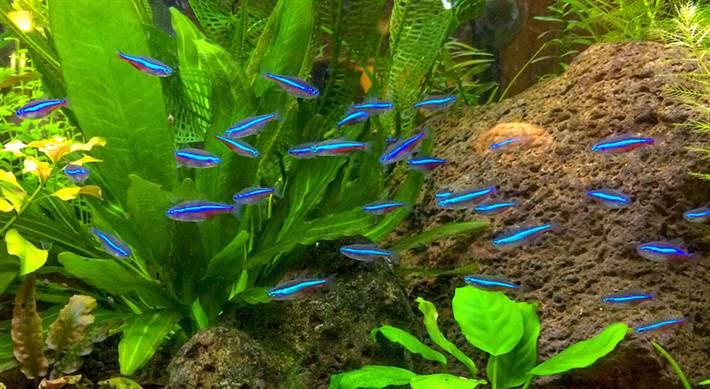 Стайка неонов — украшение любого аквариума