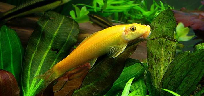 gyrinocheilus-aymonieri-var-gold-1
