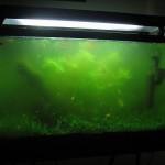 Pochemu_nachinaet_zelenet_voda_v_akvariume_4