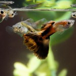 guppies-in-aquarium