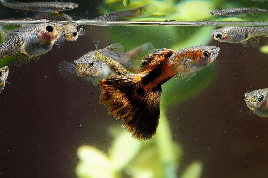 guppies-in-aquarium