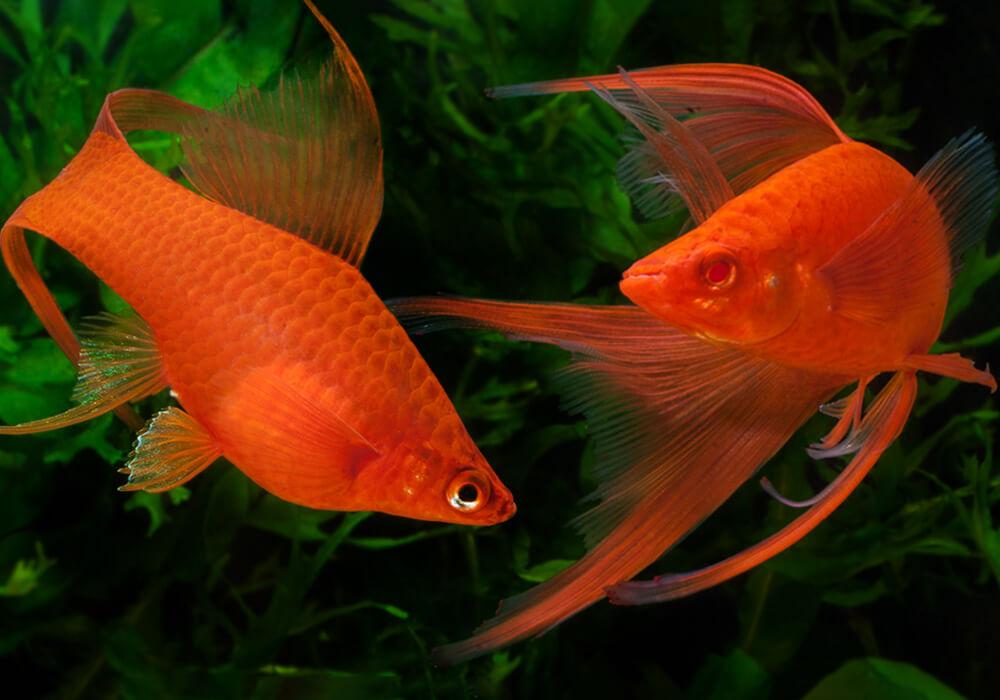 Xiphophorus-helleri-Red-Lyretail-6
