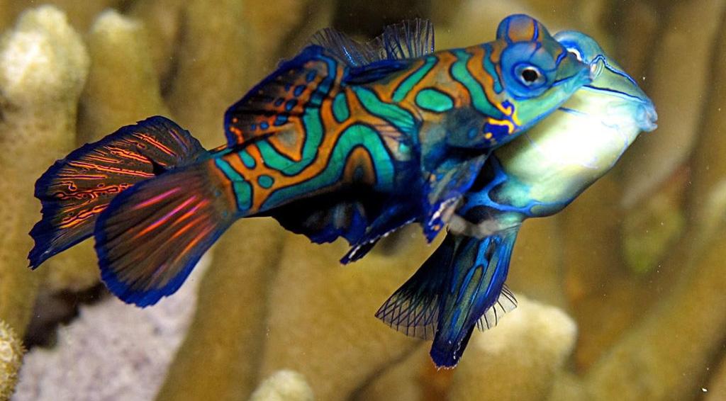 Mandarinfish-18