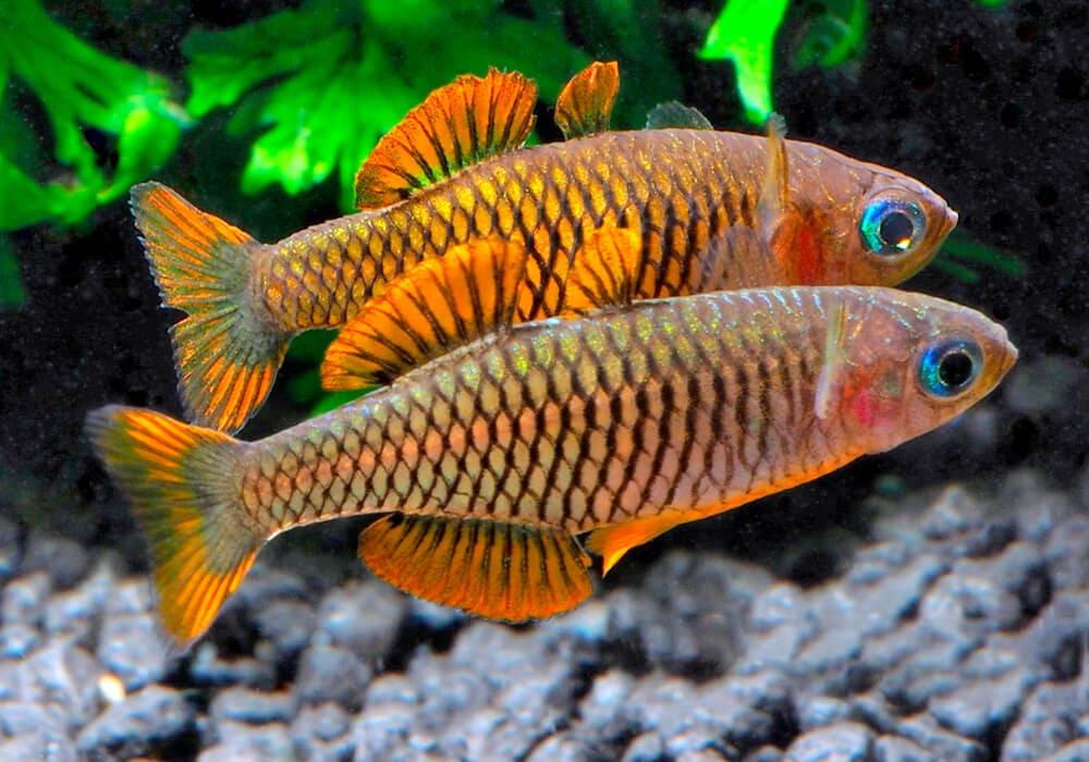 Pseudomugil-reticulatus-4