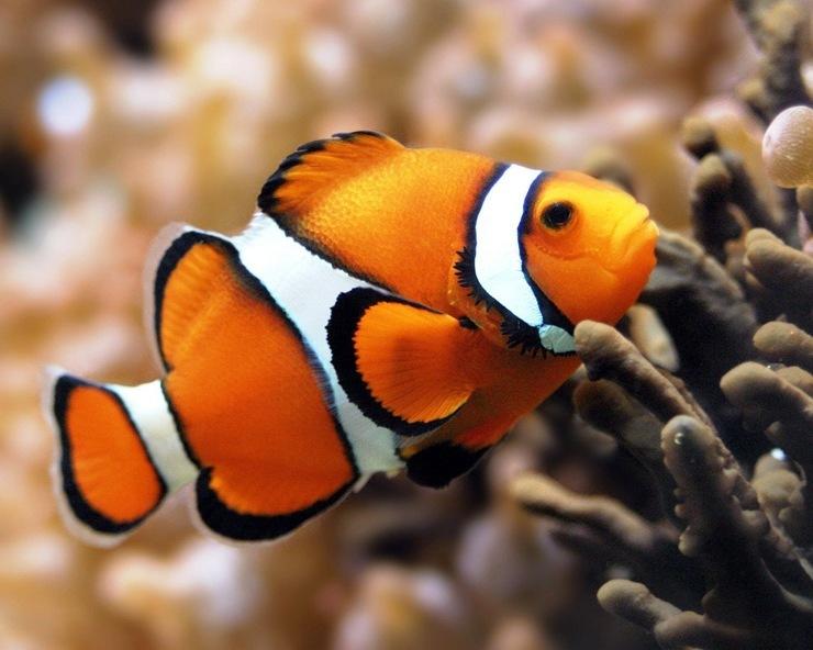Ryba-kloun