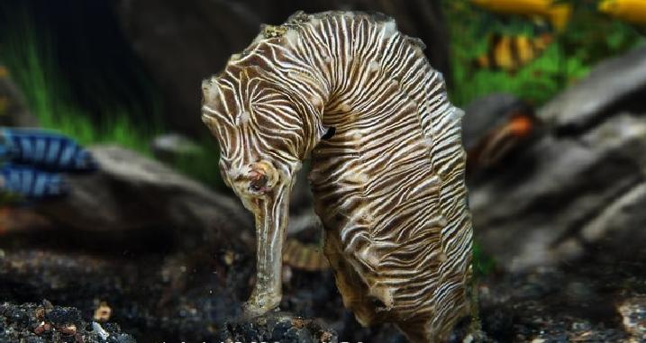 zebra seahorse 1
