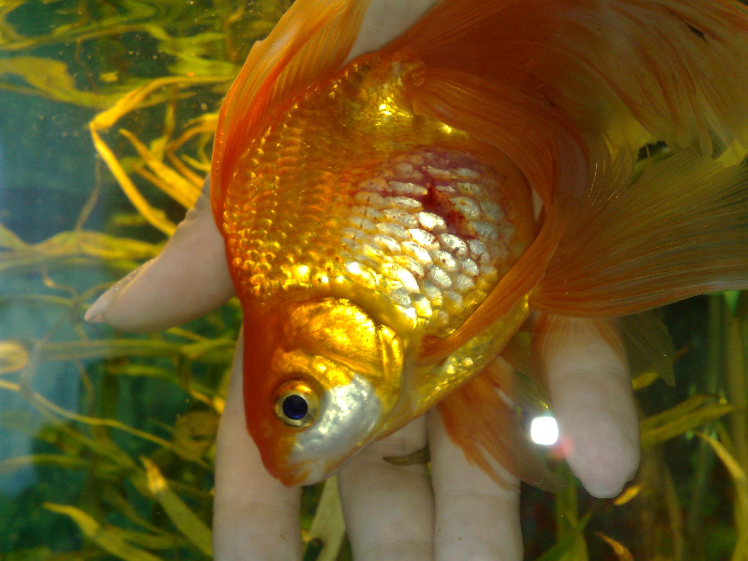 furunkulez-zolotoy-ribki